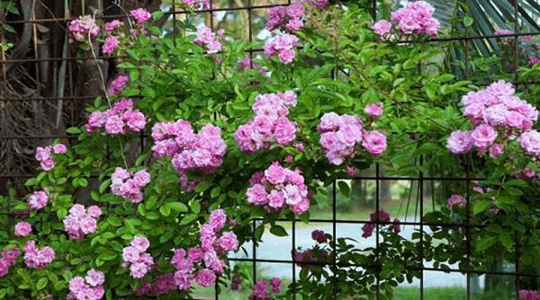 Top #7 loại hàng rào dây leo dễ trồng đẹp nhất hiện nay